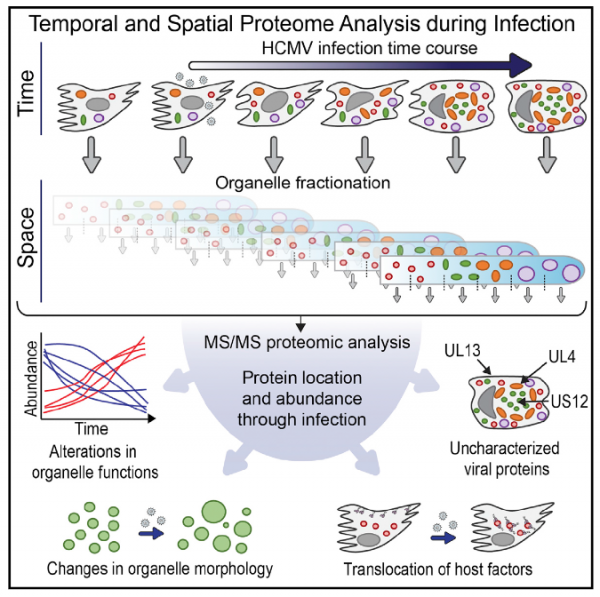 spatiotemporal proteomics