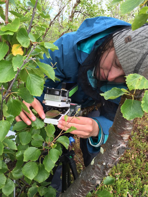 Undergraduate Olivia Trase '17 setting up gas exchange measurements on arctic birch's leaves in Stordalen National Park.  Photo by: J. Redmond