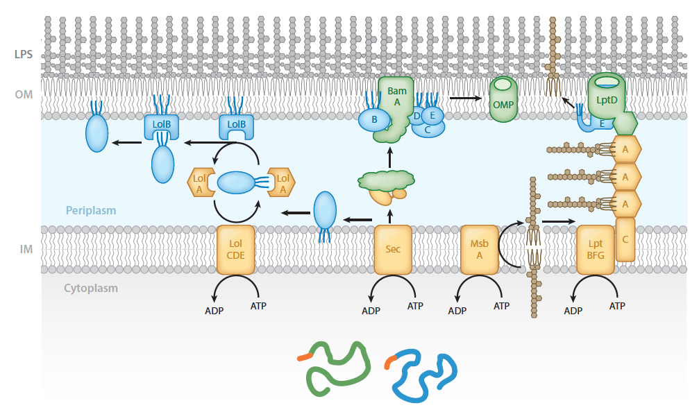 Cellular components required for targeting lipoproteins, beta barrel proteins, and lipopolysaccharides to the outer membrane of Gram-negative bacteria